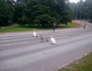 En svanfamilj går från Golfängarna till Råstasjön och behöver passera Sjövägen.